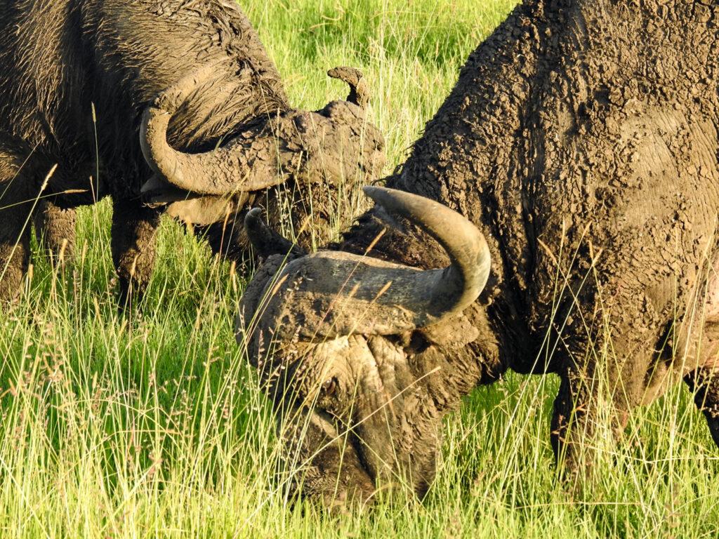 BIG 5 member The Buffalo Masai Mara - Kenya