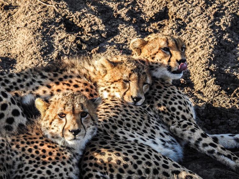 Three little cheetahs Masai Mara - Kenya