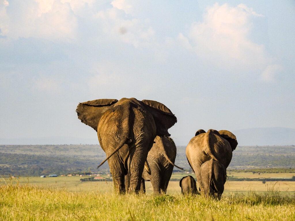 Elephants from the back Masai Mara - Kenya
